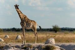 Giraffe an einer Wasserstelle Stockfotos
