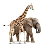 Giraffe with elephant. Isolated on white Royalty Free Stock Photo