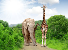 Giraffe and elephant Royalty Free Stock Images
