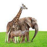 Giraffe, Elephant and Kudu Stock Photography