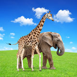 Giraffe with elephant Royalty Free Stock Image