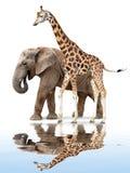 Giraffe with elephant Stock Image