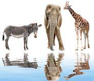 Giraffe, elephant and zebra. Isolated on white Royalty Free Stock Images