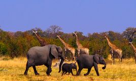 Giraffe and Elephants at waterhole at Savuti Game Reserve. Four Giraffes are walking to the left, while three elephants are going in the opposite direction stock photography