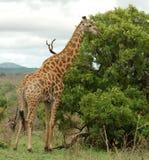 Giraffe em África Fotografia de Stock Royalty Free