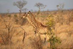 Giraffe en stationnement national de Kruger images stock
