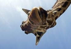 Giraffe engraçado Fotografia de Stock