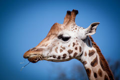 A giraffe enjoying lunch Stock Photography