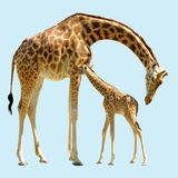 Giraffe et chéri d'isolement Image libre de droits