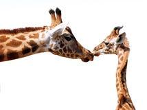 Giraffe et jeunes d'isolement Image stock
