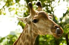 Giraffe et langue Images libres de droits