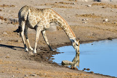 Giraffe - Etosha, Namibia. Giraffe drinking along a waterhole in the wild in Etosha National Park, Namibia, Africa Royalty Free Stock Images