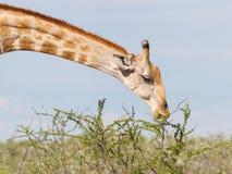 Giraffe in Etosha, Namibia Royalty Free Stock Image