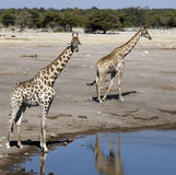 Giraffe - Etosha National Park - Namibia. Two Giraffe (Giraffa camelopardalis) at a waterhole in Etosha National Park in Namibia Stock Photography