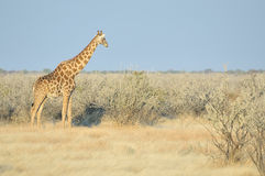 Giraffe, Etosha National Park, Namibia Royalty Free Stock Images