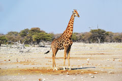 Giraffe in Etosha National Park. Etosha National Park is a national park in northwestern Namibia Royalty Free Stock Images