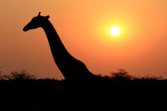 Giraffe in Etosha national reserve Stock Photography