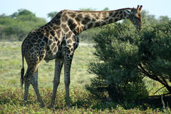 Giraffe, Etosha NP, Namibia. Male giraffe, feeding, Etosha National Park, Namibia, Africa Stock Photo