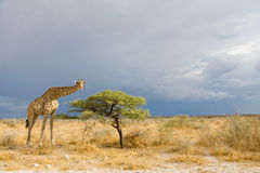 Giraffe in Etosha. Tall giraffe standing beside a small tree in the bush of Etosha National Park before a thunderstorm, Namibia, Africa Stock Photography