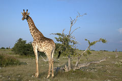 Giraffe. In the evening light Stock Images