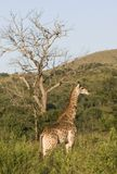 Giraffe in the evening sun, South Africa. Stock Photos