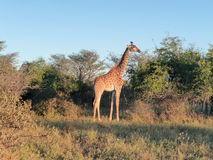 Giraffe at evening time Royalty Free Stock Photography