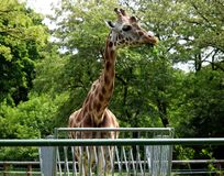 Giraffe. Exotic giraffe during a meal in the Lodz zoo Royalty Free Stock Photography