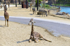 Giraffe. Is extremely long neck and legs Stock Photo