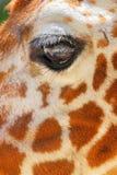 Giraffe eye Stock Image