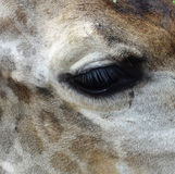Giraffe eye Royalty Free Stock Photography
