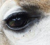 Giraffe eye Stock Photos