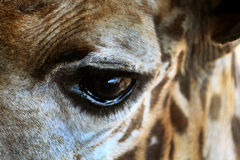Giraffe eye Stock Photography
