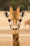 Giraffe at eye level Royalty Free Stock Image