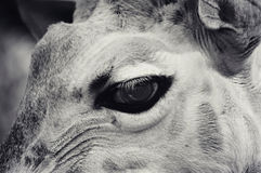Giraffe Eye stock photos