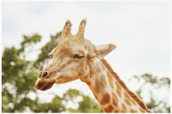 Giraffe with eyes closed. Close up on a head of a giraffe stock photography