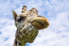 The Giraffe Face. This is the same giraffe face my mother-in-law makes when she is disappointed Royalty Free Stock Image