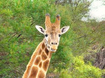 Giraffe face Stock Photos