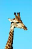 Giraffe face royalty free stock image