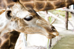 Giraffe face Stock Photography