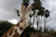Giraffe face. Close up of giraffe making a face at the camera Stock Photography