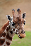 Giraffe face Royalty Free Stock Photos