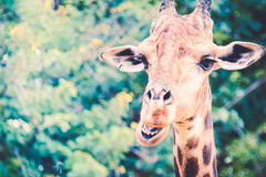 Giraffe head. Giraffe face close up funny stock photography