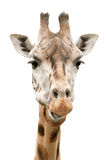 Giraffe face. Close up of funny giraffe face - isolated on white royalty free stock photo