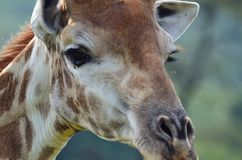 Giraffe face close up looking. Giraffe head shot  close up of nose ,nostrils and eyes Royalty Free Stock Photography