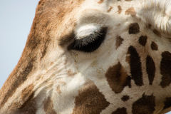 Giraffe Face. Extreme close-up of a Giraffes face showing huge eye lashes Stock Photo