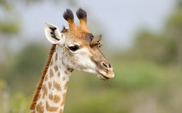 Giraffe Face with Oxpecker - Kruger National Park Stock Photo