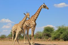 Giraffe - Face pulls and water Stock Images