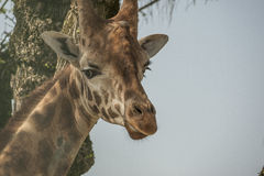 Giraffe face Stock Images