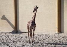 Baby giraffe. Wild nature. Giraffe at the zoo stock images