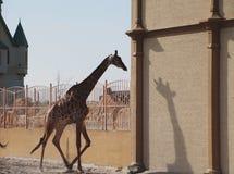 Baby giraffe. Wild nature. Giraffe at the zoo royalty free stock image